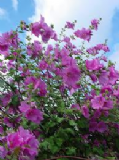 Tree Mallow 30 seeds - FREE POST